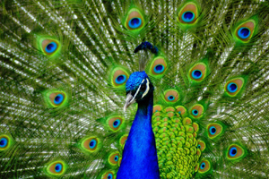 Peacock_web